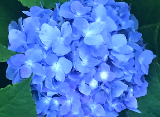 Hydrangeas: to cut or not to cut .....