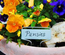 orange pansies in a pot in SC
