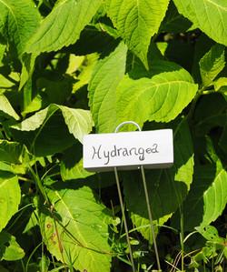 large green leaf hydrangea with zinc