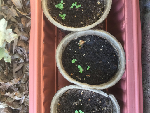 GROWING PANSIES FROM SEED
