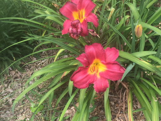 How to divide Perennials