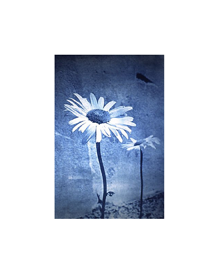 "Italian Daisy - 8"" x 10"" Print"