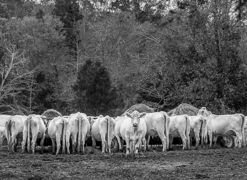 Untitled Cows near Greenville SC