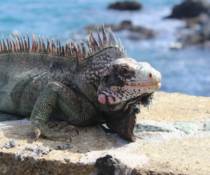 Iguana USVI
