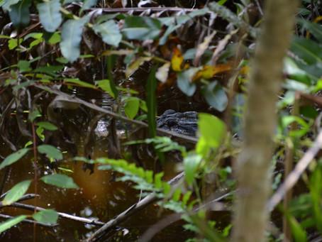 Gator tour from Monroe Junction Florida