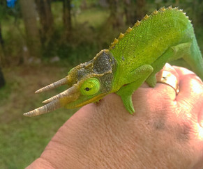 Chameleon Big Island