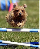 MegLockwood Norfolk Terrier.JPG