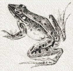 vintage illustration of frog