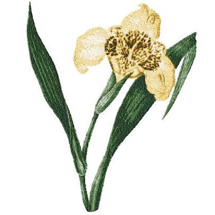 extra large iris