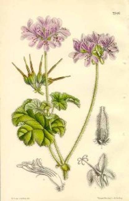 The_Botanical_Magazine._pl_7346._Pelargonium_Drummondii