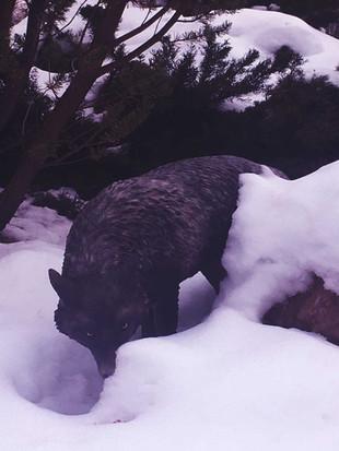 Dire Wolf Snow 01 web res.jpg