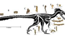 Paleontology Newsflash: Dineobellator hesperonotus