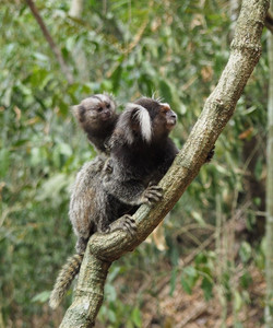 Marmoset Mother and Babe