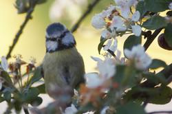 Bluetit in Blossom