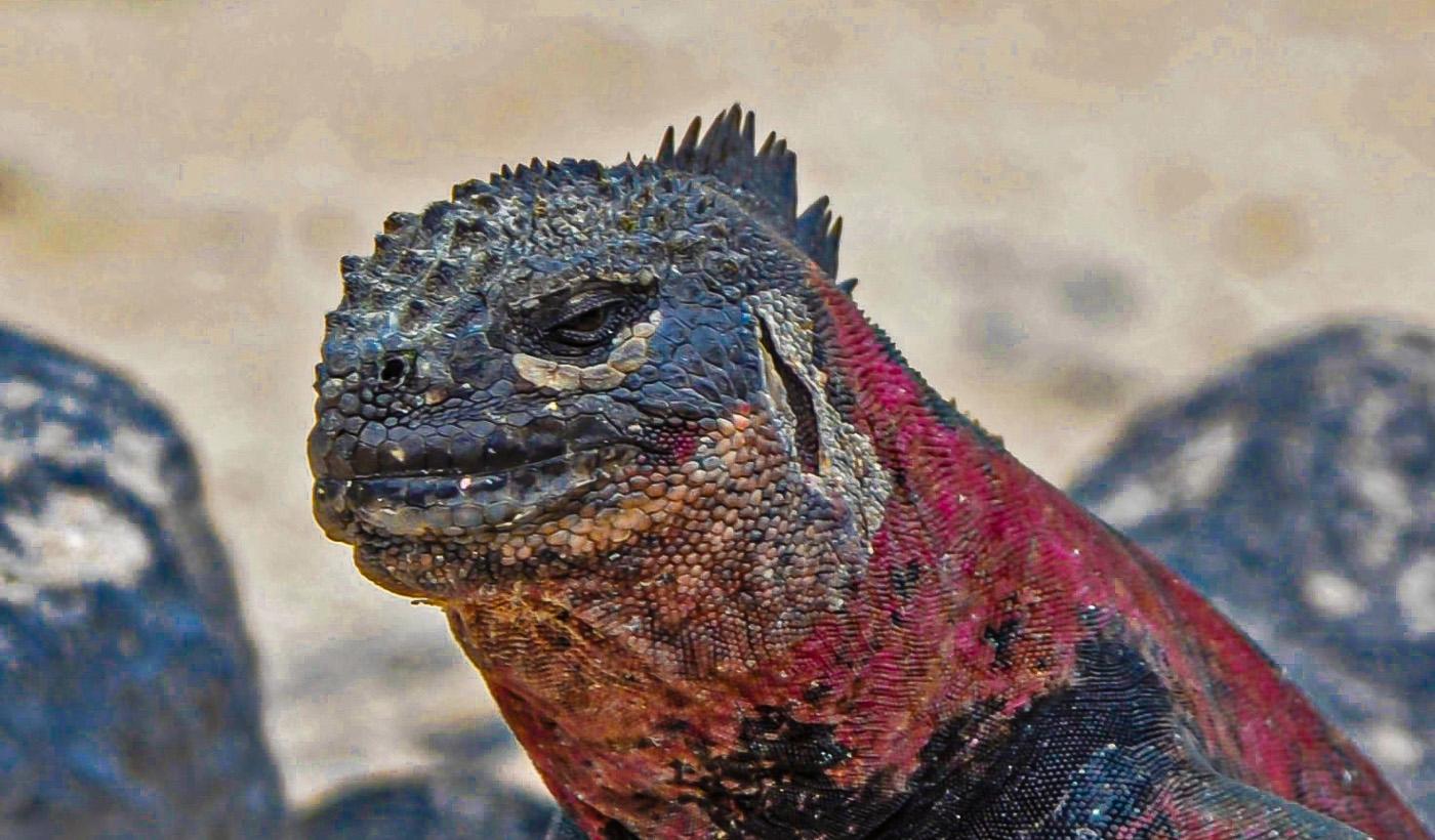 Mr Iguana