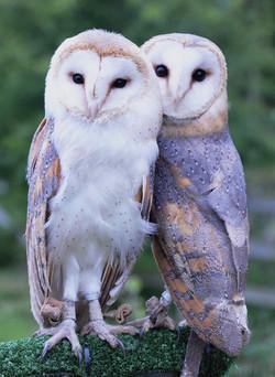 Barn Owl Twins