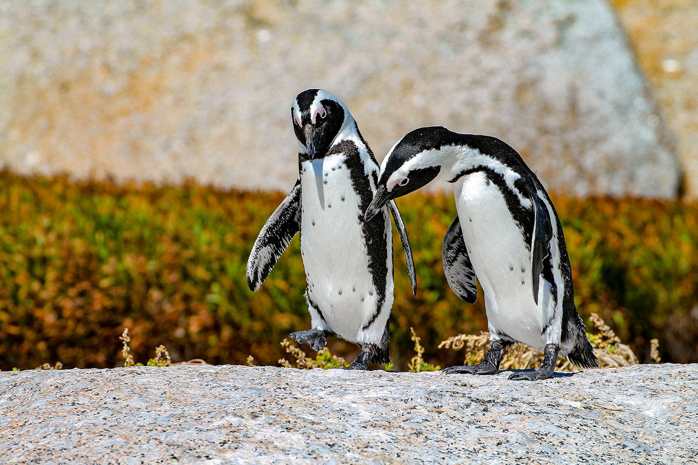 Walking Talking Penguins