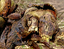 Rotting Roots