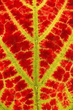 Autumn Red