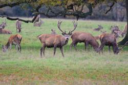 Seeing Red Deer