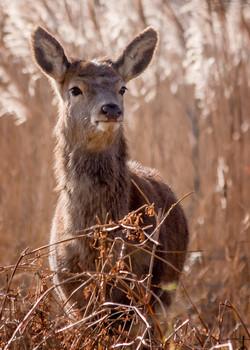 Red Deer at Minsmere