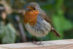 Bobbin Robin