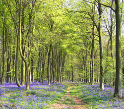 A Beechwood in Spring