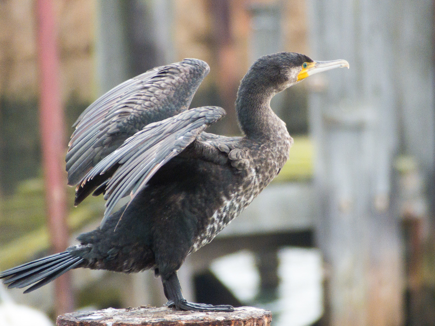 Sun dried Cormorant