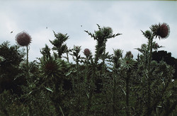 Thistles in Field