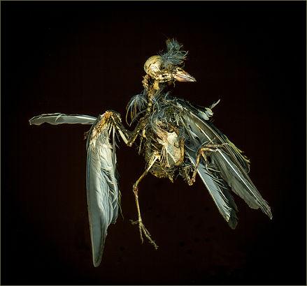 Goldfinch - A Study in Decay_Sue Garrod.