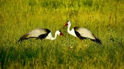 Herons in the Okavango Delta