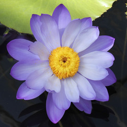 My name's Lily, Water Lily