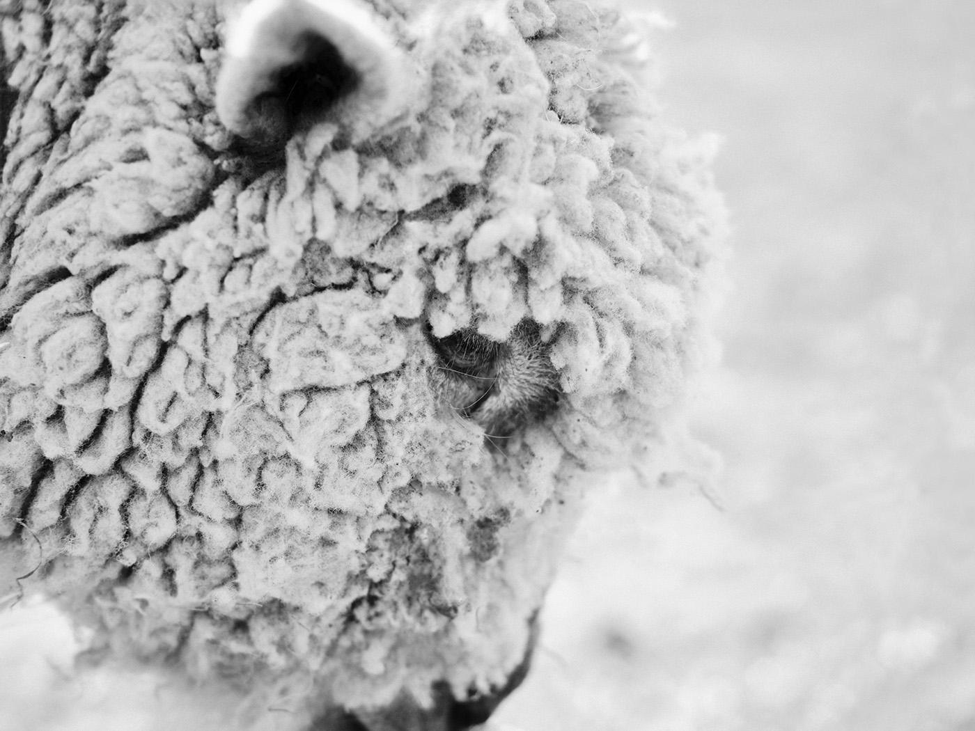Pondering Sheep