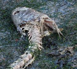 Fish Decaying