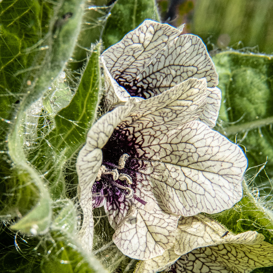 Poisonous Hairy Leaved Henbane