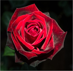Red Rose by Torchlight