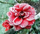 Winter rose_joan Moore.JPG
