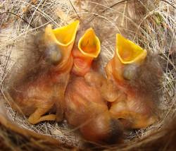 Baby Spotted Flycatchers