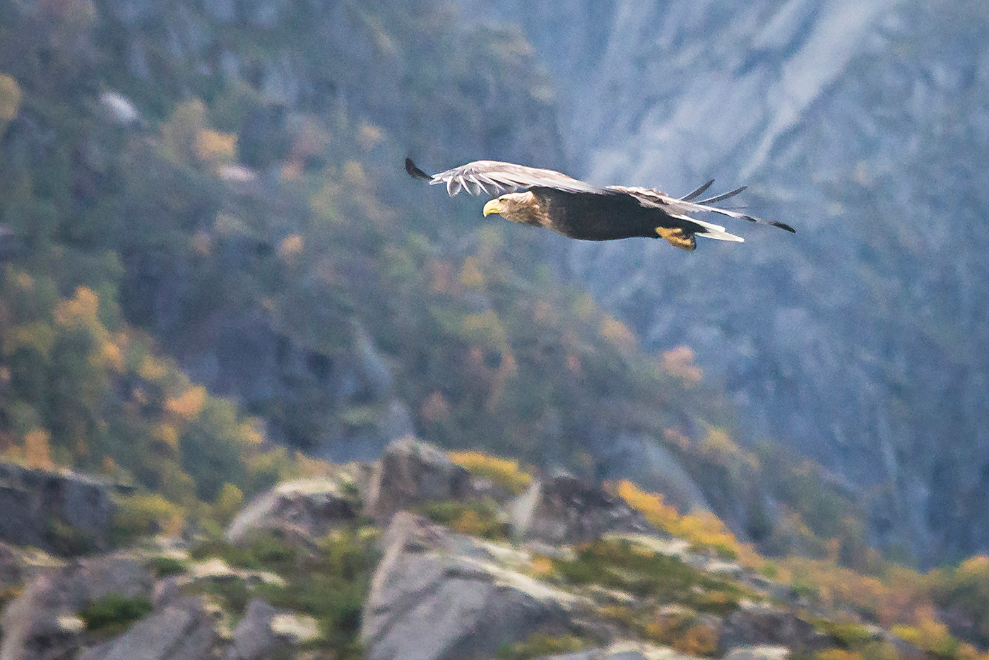Sea Eagle over Norwegian Fjord