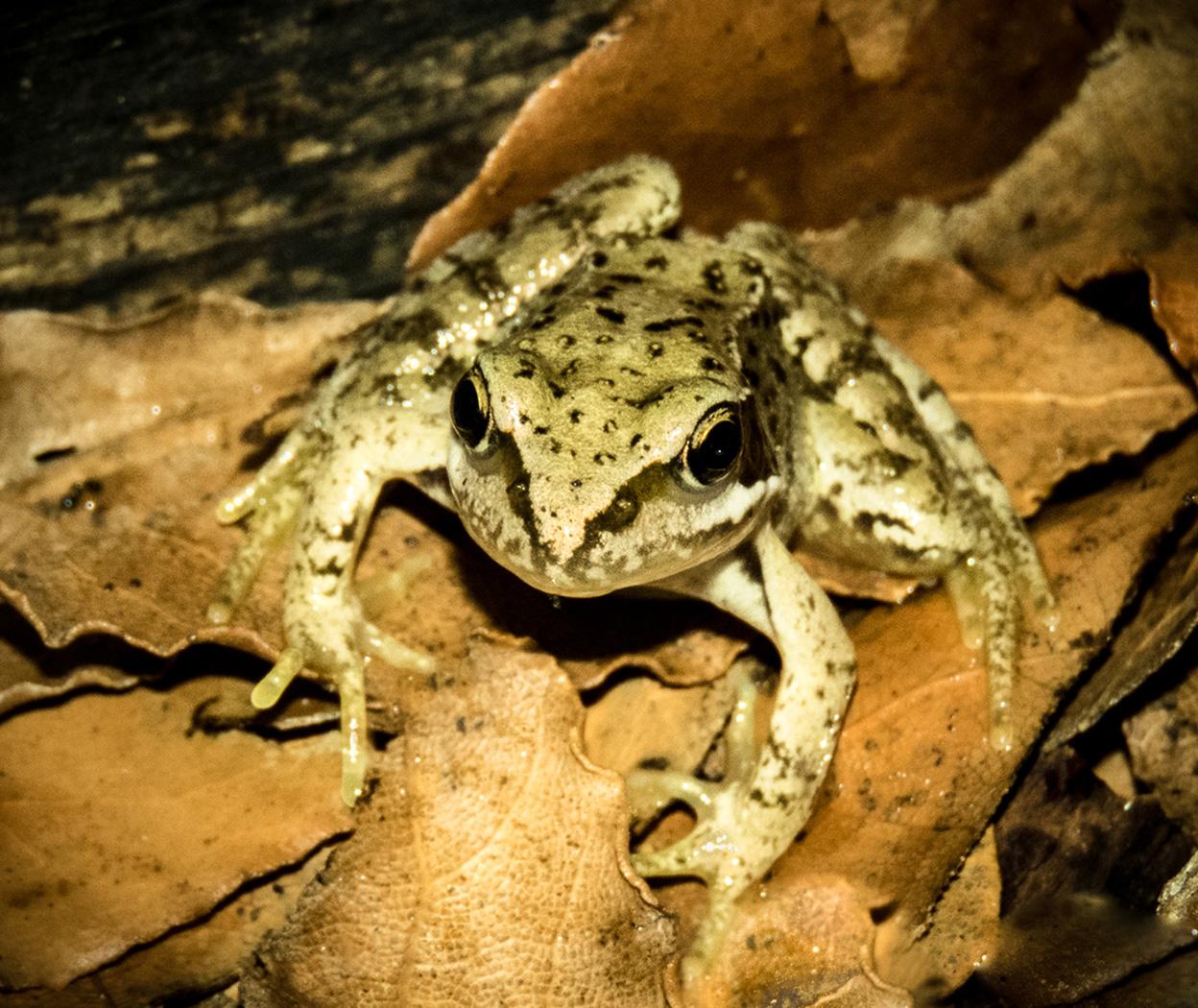 Frog on a Dry Bayleaf