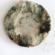 Nidiya Ceramic Micro Fungus 10.png