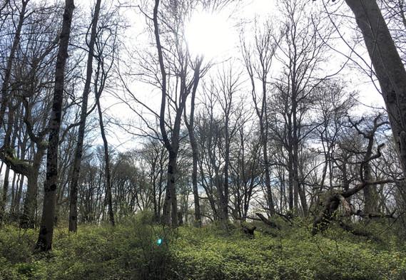 Ash dieback trial site