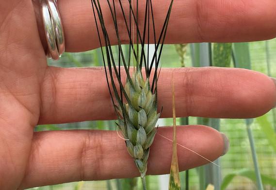 Wheat landrace
