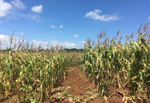 Maize in Zambia