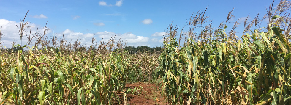 Maize in Zambia