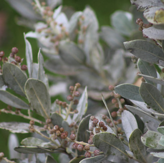 Silver Buttonwood (Conocarpus erectus) an ecologically and economically important species of mangrove tree  found in PSEPA
