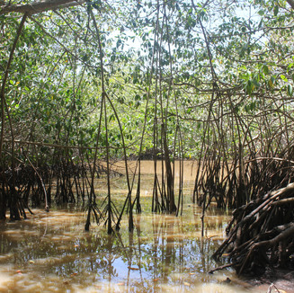 The red mangroves, one of our many targeted species for conservation.