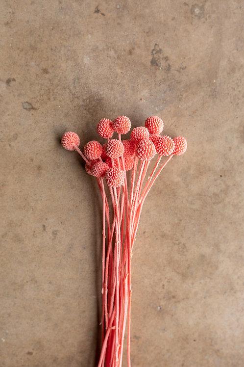 Craspedia // Coral Pink