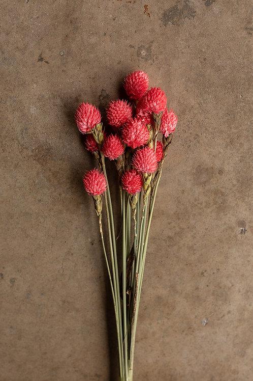 Dried Gomphrena or Amaranth Globe // Pink