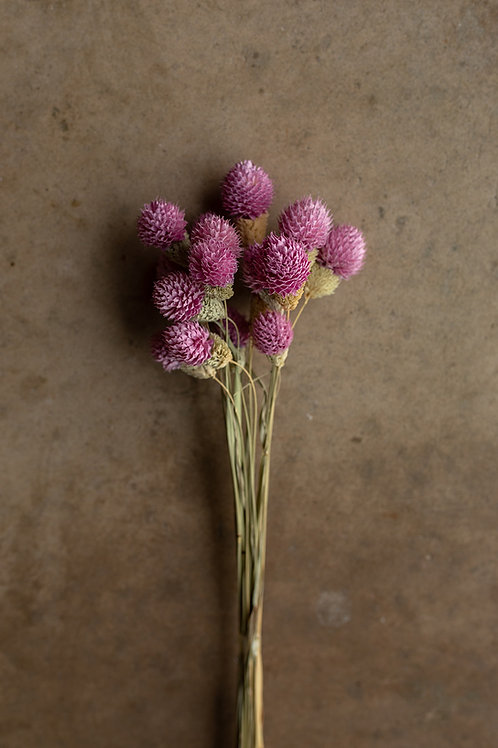 Dried Gomphrena or Amaranth Globe // Pink/Purple